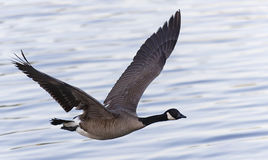 Flying goose. Picture of flying goose over lake Royalty Free Stock Image