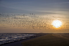 Flying goose, Terschelling The Netherlands Royalty Free Stock Image