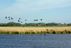 Flying gooses Royalty Free Stock Photos