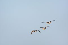 Flying gooses Stock Photography