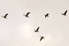 Flying gooses Stock Images