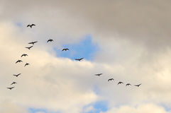Flying gooses 2 Royalty Free Stock Photo