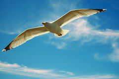 Flying graceful seagull isolated in open blue sky Stock Photos