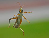 Flying Grasshopper in mid air!! Stock Photos