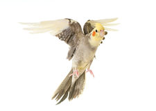 Flying gray cockatiel. In front of white background stock images