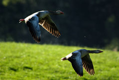 Flying Graylag geese royalty free stock image