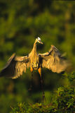 Flying Great Blue Heron Royalty Free Stock Images