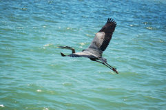 Flying great blue heron Stock Images
