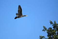 Flying great cormorant Royalty Free Stock Photos