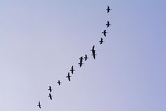 Flying great cormorant formation  - Phalacrocorax carbo Stock Photography
