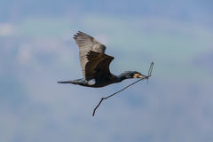 Flying great cormorant (Phalacrocorax carbo) Stock Photos
