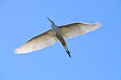 Flying great egret Royalty Free Stock Image