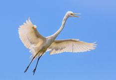 Flying Great Egret Royalty Free Stock Photo