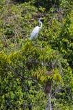 Flying Great Egret near Lake Maracaibo, Venezuela Stock Photo