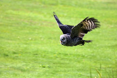 Flying Great gray owl Royalty Free Stock Images
