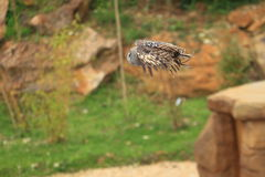 Flying great grey owl Royalty Free Stock Photography