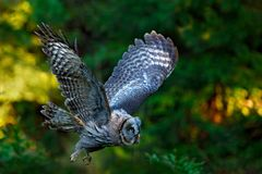 Flying Great Grey Owl, Strix nebulosa, above green spruce tree with orange dark forest background. Wildlife in Sweden. Bird in fly. Flying Great Grey Owl, Strix stock images