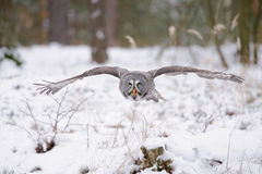 Flying great grey owl in winter Royalty Free Stock Image
