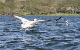 A flying great Pelican Stock Image