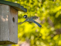Flying Great Tit Royalty Free Stock Images