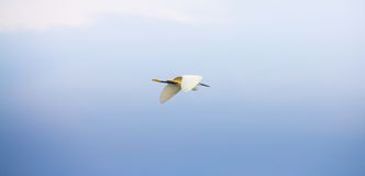 Flying Great White Egret. With blue sky background Royalty Free Stock Photos