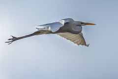 Flying Great white egret Royalty Free Stock Images