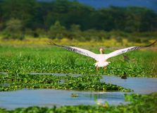 Flying great white pelican Royalty Free Stock Images