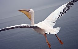 Flying with a Great White Pelican - Namibia Royalty Free Stock Photo