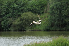 Flying great white pelican Stock Images