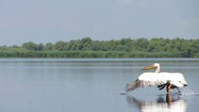 Flying great white pelicans in the Danube Delta