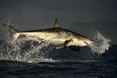 Flying Great White Shark. Royalty Free Stock Image