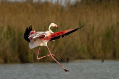 Flying Greater Flamingo Stock Photography