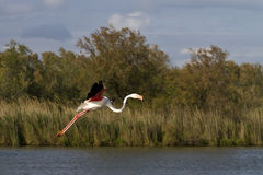 Flying Greater Flamingo Stock Image