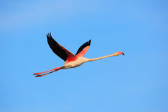 Flying Greater Flamingo, Phoenicopterus ruber, pink big bird with clear blue sky, Camargue, France Royalty Free Stock Photos