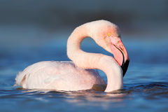 Flying Greater Flamingo, Phoenicopterus ruber, pink big bird with clear blue sky, Camargue, France Royalty Free Stock Images