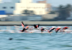 Flying Greater Flamingos Royalty Free Stock Images