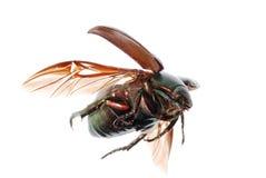 Flying green scarab beetle Royalty Free Stock Photos