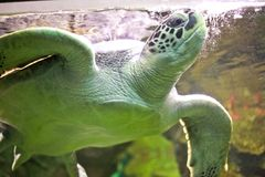 Flying green turtle. Aquarium in Sevastopol Royalty Free Stock Photos