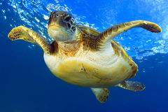 Flying green turtle stock images