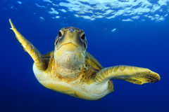 Flying green turtle royalty free stock image