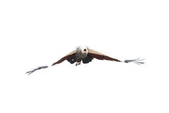 Flying grey crowned crane Stock Photos