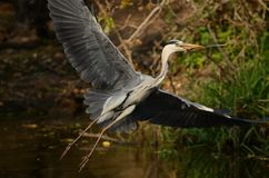 Flying Grey Heron (Ardea Cinerea). The grey heron is a very large bird. Sometimes they get a high of 100cm Stock Photo