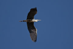 Flying Grey Heron Royalty Free Stock Photography