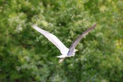 Flying grey heron bird Stock Photography