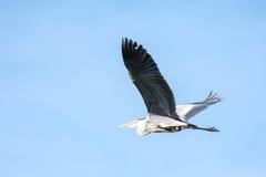 Flying grey heron bird Royalty Free Stock Images