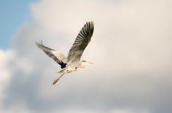 Flying grey heron bird Stock Image