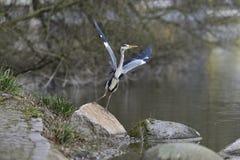 Flying Grey Heron Stock Photo