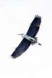 Flying Grey heron Stock Photography