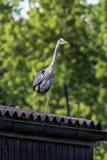 Flying Grey heron Royalty Free Stock Photography