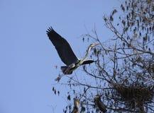 Flying Grey Heron Stock Image